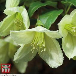Clematis cirrhosa 'Jingle Bells'