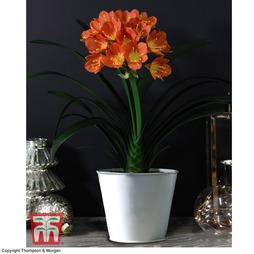 Tropical Clivia miniata - Gift
