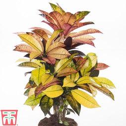 Codiaeum variegatum var. pictum 'Mrs Iceton' (House Plant)