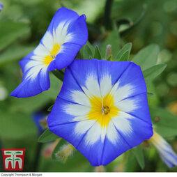 Convolvulus 'Tricolor Blue Ensign'