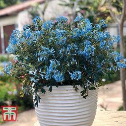 Corydalis flexuosa 'Porcelain Blue'
