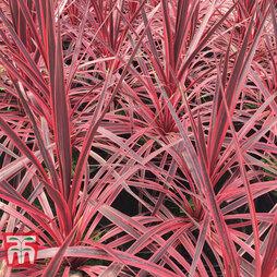 Cordyline 'Pink Star'