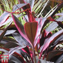 Cordyline 'Tango' (House Plant)
