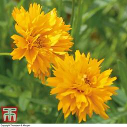 Coreopsis 'Golden Joy'
