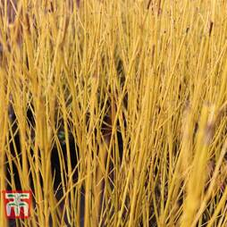 Cornus sericea 'Bud's Yellow'