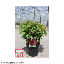 Cornus sericea 'Kelseyi'