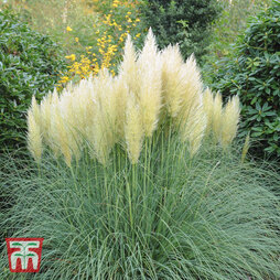 Cortaderia selloana 'White'