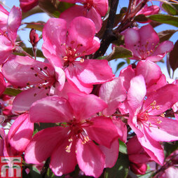 Crab Apple 'Diable Rouge'