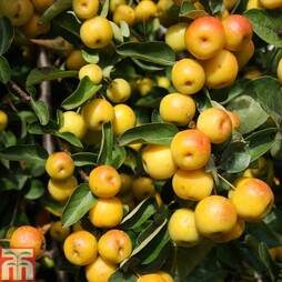 Crab Apple 'Butterball'