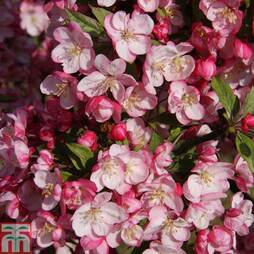 Crab Apple 'Coralburst'