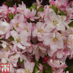 Crab Apple 'Pink Perfection'