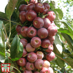 Crab Apple 'Appollo'