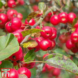 Crab Apple 'Red Sentinel'