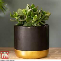 Crassula ovata 'Hulk' (House plant)