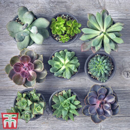 Crassula Mixed (House Plant)