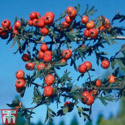 Crataegus orientalis