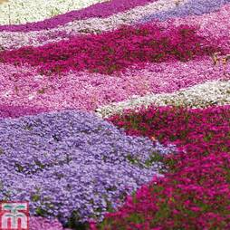 Lucky Dip Phlox Collection (Creeping)