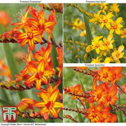 Crocosmia 'Firestars Collection'