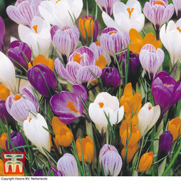 Crocus 'Large Dutch Collection'