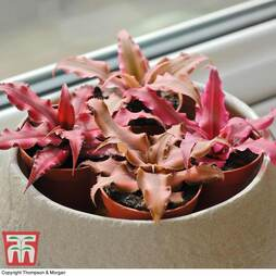 Cryptanthus Collection (House Plant)