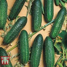Cucumber 'Corentine'