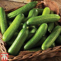Cucumber 'Mini Stars' F1 Hybrid