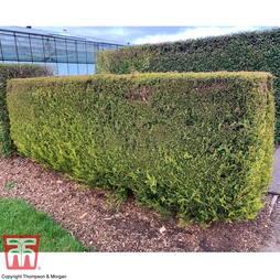 Leyland Cypress 'Castlewellan'