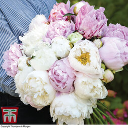 Peony 'Scented Bouquet Mix'