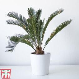 Cycas revoluta (House Plant)