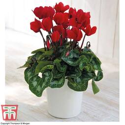 Cyclamen Christmas Wish Red - Gift