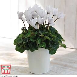Cyclamen Winter Wonderland White - Gift