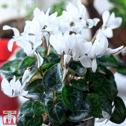 Cyclamen persicum 'Super Serie Carino' (House Plant)