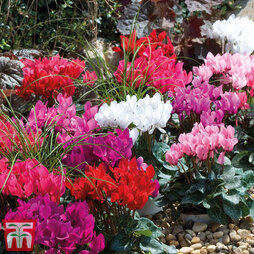 Cyclamen 'Smartiz Mix'