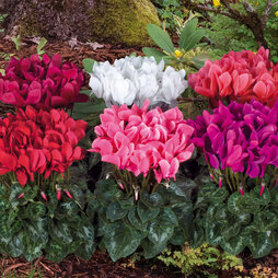 Cyclamen 'Latinia Success'