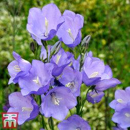Campanula medium 'Blue'