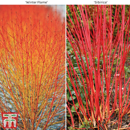 Cornus Winter Duo