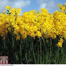 Daffodil 'Cordubensis'
