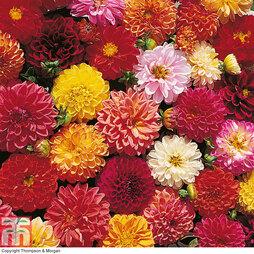 Dahlia variabilis 'Double Extreme'