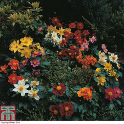 Dahlia variabilis 'Bambino Mixed'