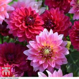 Dahlia 'Gardenetta Raspberry'