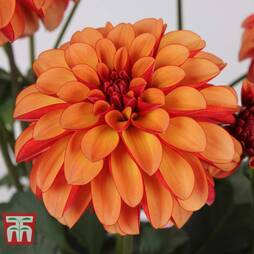 Dahlia 'Labella® Grande Orange Bicolour'