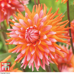 Dahlia 'Orange Turmoil'