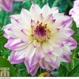 Dahlia 'Ferncliff Illusion' (Giant Tree Dahlias)