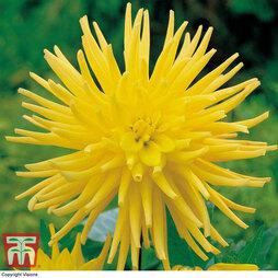 Dahlia 'Yellow Star'