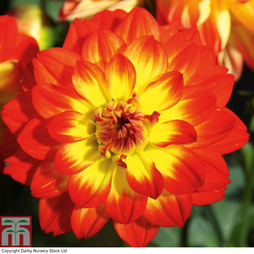 Dahlia 'Lubega Power Yellow-Orange'