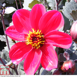 Dahlia 'Happy Single Romeo'