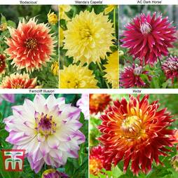 Dahlia 'Dinner Plate' Collection
