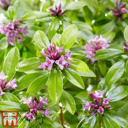 Daphne odora 'Sweet Amethyst'