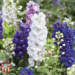 Delphinium hybridum 'Magic Fountains Mixed'