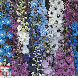 Delphinium 'Pacific Giants'